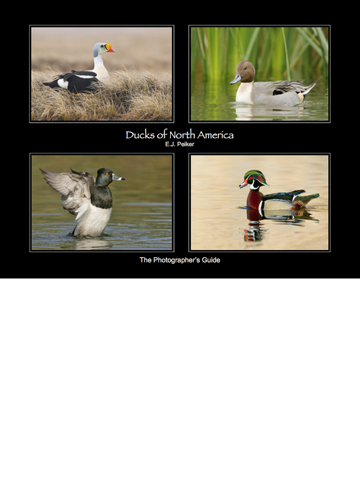 Ducks Of North America